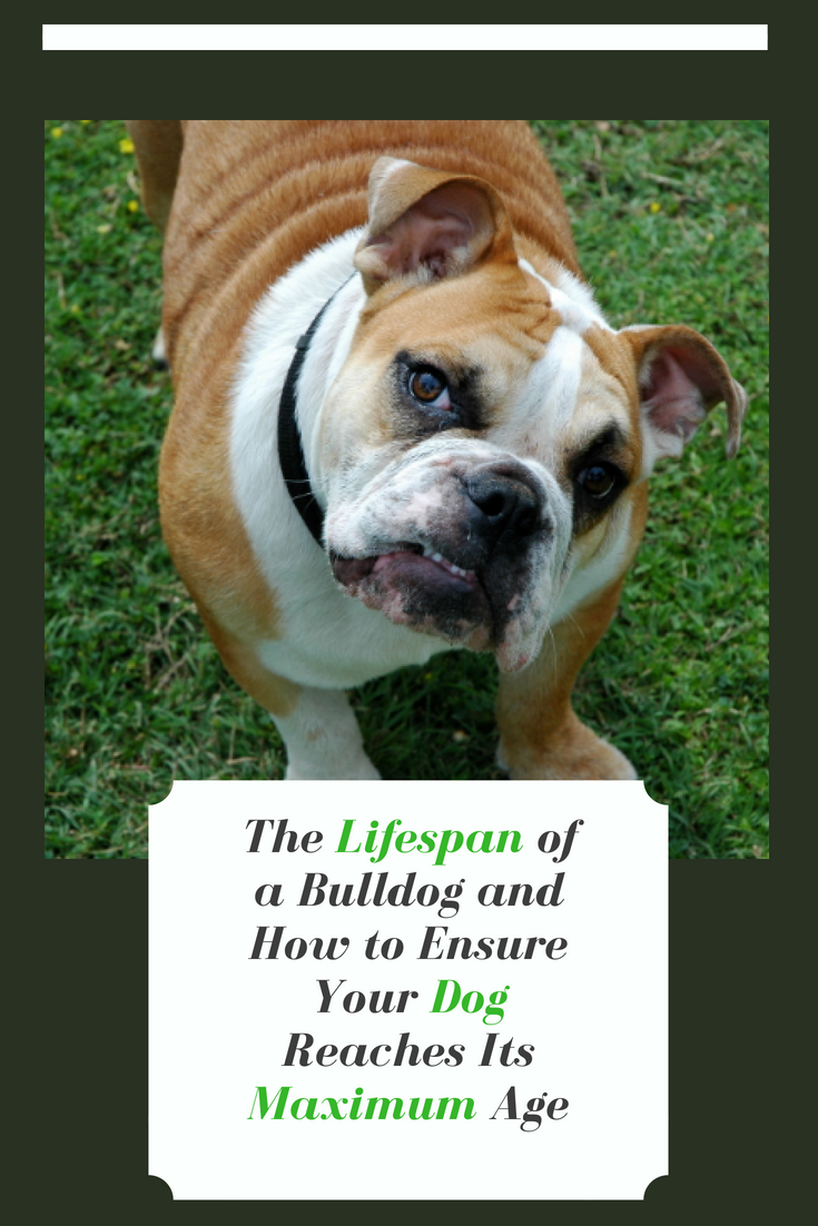 What is the lifespan of a Bulldog? If you are planning on getting one, you're probably wondering how long they live. Find out here. #Bulldog #BulldogLifespan #Bullies