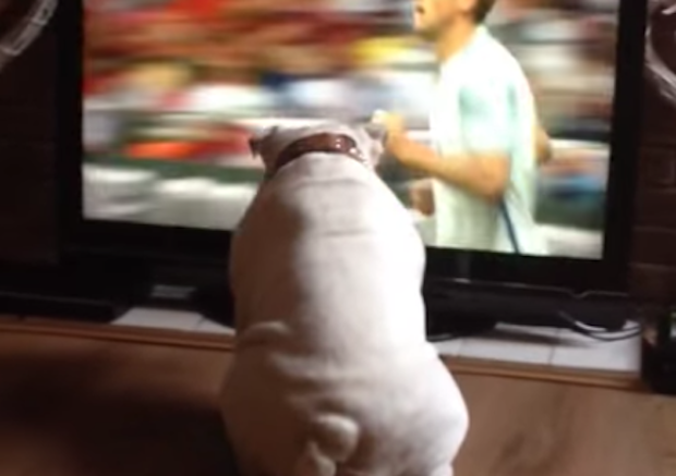 English Bulldog Watches Soccer Game On TV And Tries To Bite The Ball