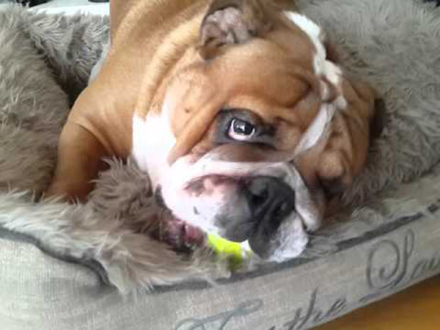Hilarious Bulldog Sounds Like A Gremlin While Playing With Ball