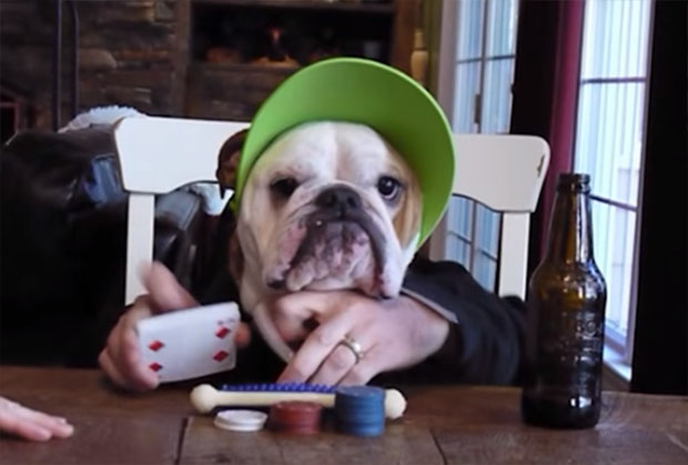 This Bulldog Poker Dealer Is The Cutest One Weve Ever Seen