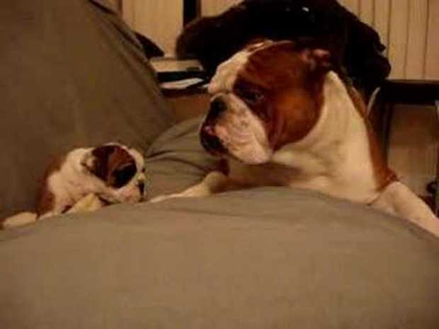 Tough Bulldog Father Softens Up Seeing His Puppy Daughter For The First Time