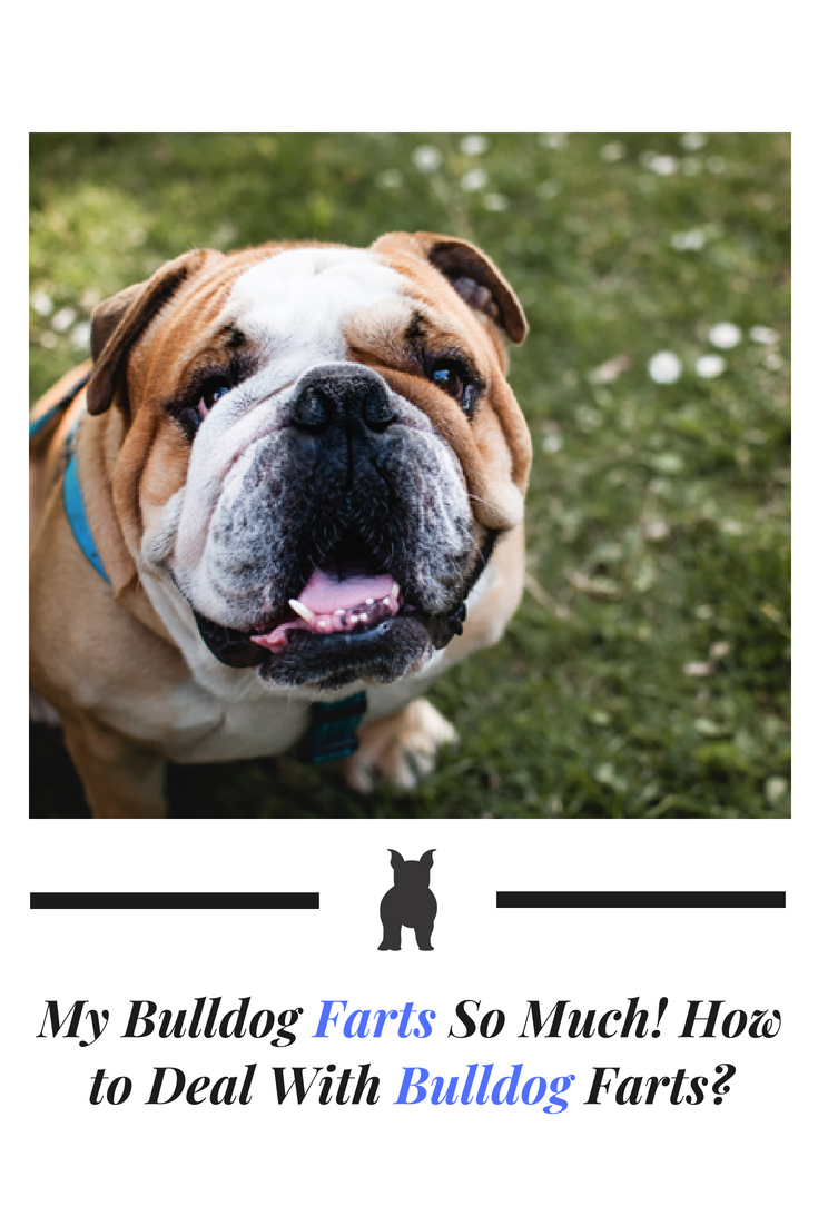 If you're a Bulldog owner, you may have probably noticed that your Bulldog farts so much. Farts are a Bulldog thing but you can help minimize it. #Bulldog #Bullies #Dog