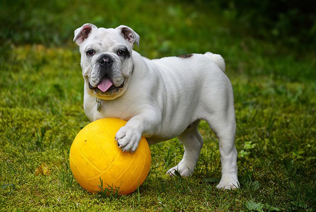 5 Tips To Better Take Care of Bulldogs