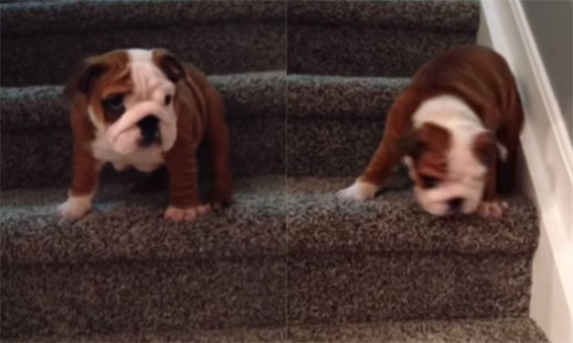 Bulldog-Puppy-Taking-His-First-Giant-Leap-Down-The-Stairs-Is-Just-Too-Adorable-627x376