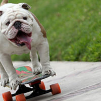 Bulldog-Sets-Guinness-World-Record-For-Longest-Human-Tunnel-Travelled-Through-By-A-Skateboarding-Dog-627x353