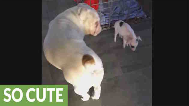 Deaf-Bulldog-Makes-Friends-With-Little-Piglet