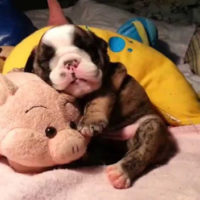 English-Bulldog-Puppy-Snuggles-With-His-Stuffed-Piggy-While-He-Snores-His-Little-Head-Off-627x352