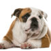 The History and Origins of Bulldogs