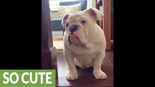 Funny-Bulldog-Finally-Conquers-The-Scary-Stairs