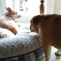 Grumpy-Bulldog-Throws-A-Tantrum-After-Another-Dog-Steals-His-Bed-627x348