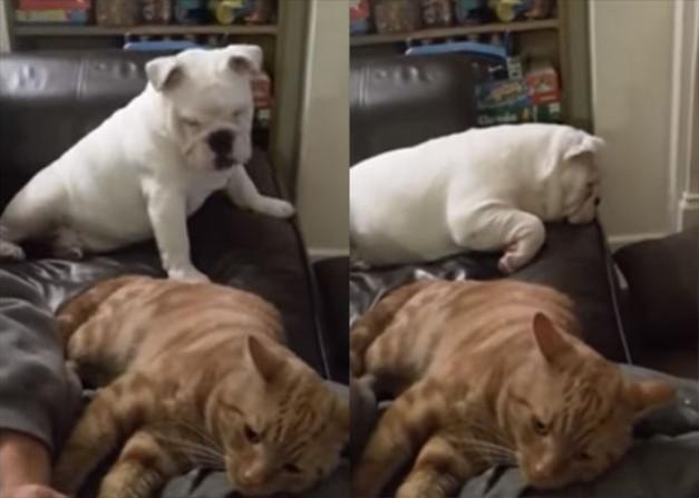 Jealous-Bulldog-Puppy-Kicks-Cat-Off-The-Couch-627x447