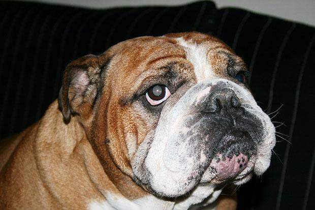 Taking Care of Bulldog Wrinkles 2