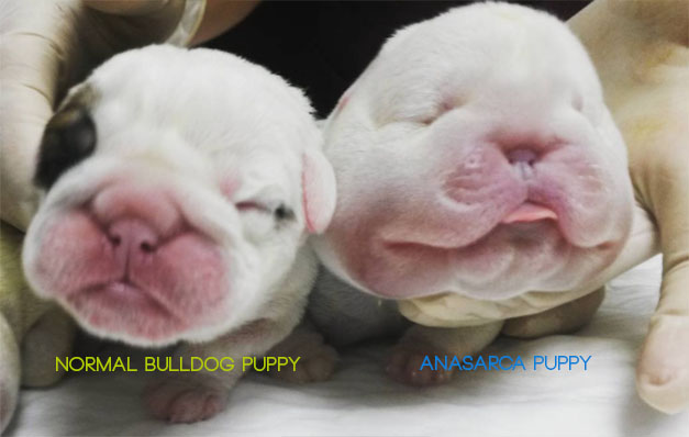 Anasarca Puppies - What are Bulldog Water Puppies 4