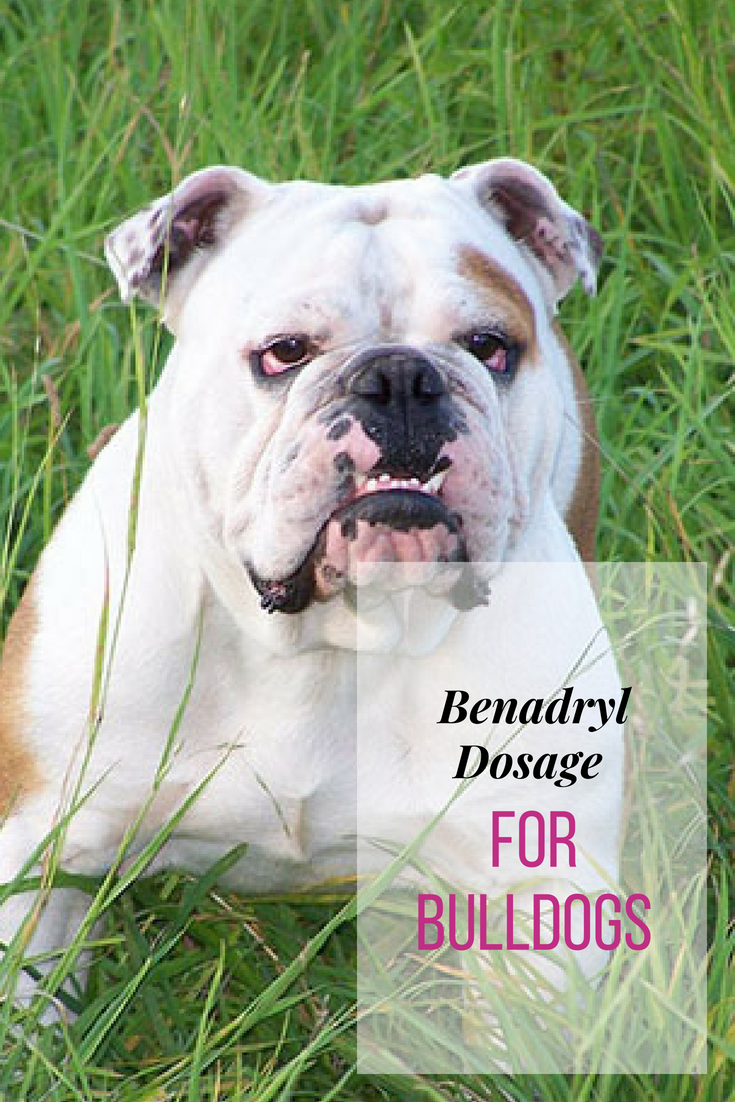 Dogs can suffer from allergies. Bulldogs are more prone to it. If you're a new owner, knowing the right Benadryl dosage for Bulldogs is worth knowing. #Bulldogs #BulldogAllergies #Bullies
