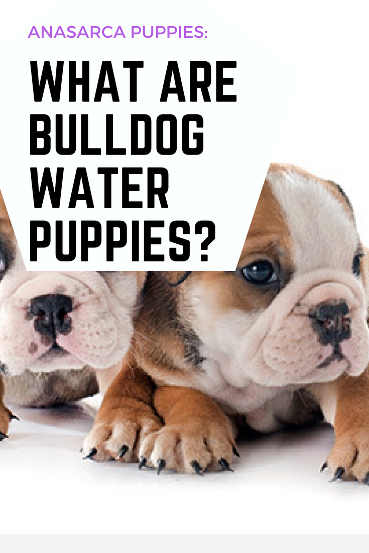 Have you ever heard of Bulldog Water Puppies? Dog lovers rarely talk about water puppies despite being common. Learn more about water puppies here. #WaterPuppies #Bulldogs #Bullies
