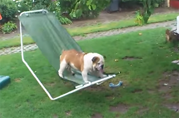 bulldog-catching-raindrops-tumbles-on-hammock-and-has-the-best-day-ever