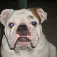 Separation Anxiety in Bulldogs