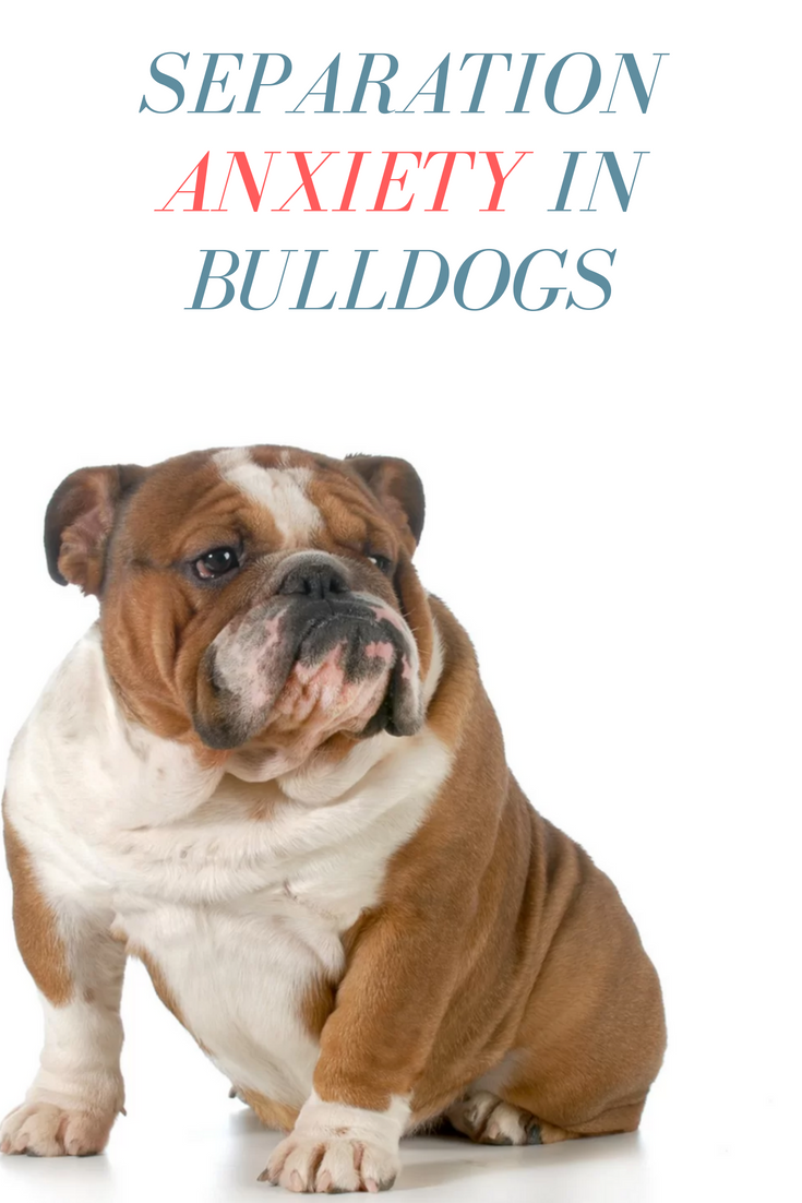 Have you ever found yourself struggling to deal with separation anxiety in Bulldogs? Bulldogs love social interactions and it's not surprising to hear them bark and misbehave as soon as you head out the door. #Bulldogs #AnxietInDogs #Bullies