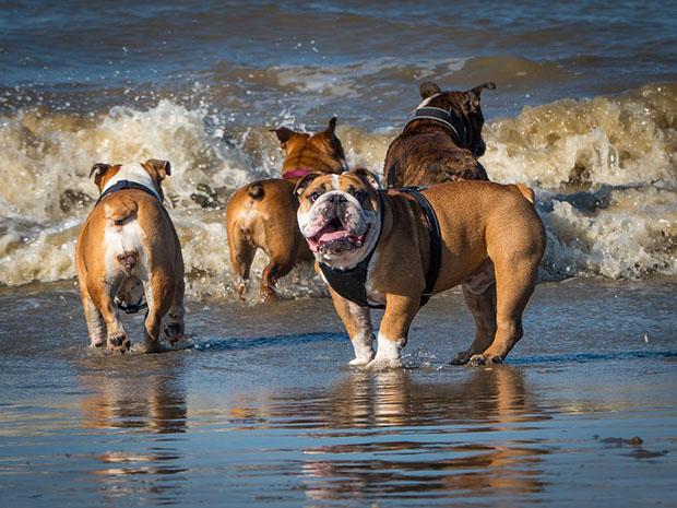 can-english-bulldogs-swim