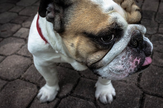 is-it-possible-to-make-bulldogs-a-healthy-breed