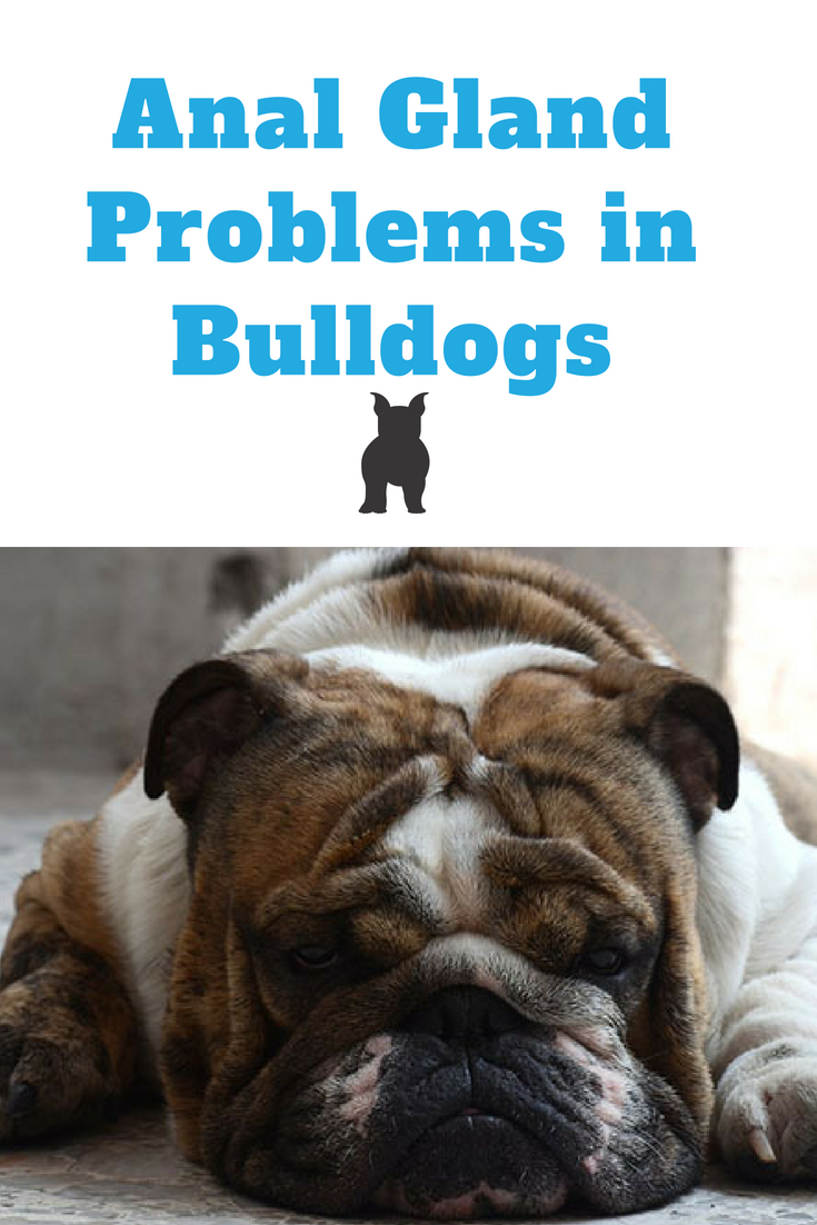 Anal Gland problems in Bulldogs are not uncommon. Anal gland problems may result to infection causing your Bulldog to feel pain and discomfort when relieving himself. #Bulldog #Bullies #AnalGlandBulldogs