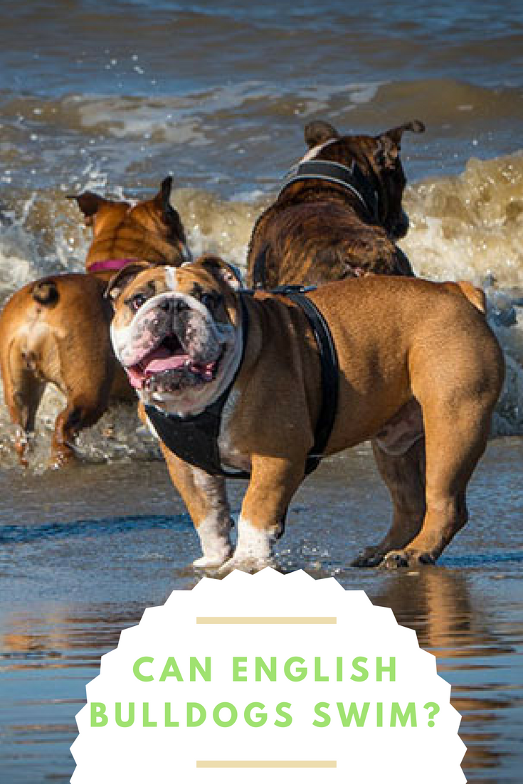 Can English Bulldogs swim? You have probably seen the joy your Bulldog feels when he plays in the mud or kiddie pool. #Bulldogs #BulldogsSwimming #SwimmingDogs #Bullies