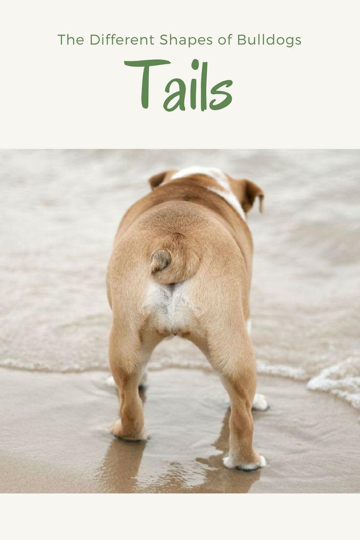 Don't you just love Bulldog tails? Bulldogs are known for their perennial frown, stocky and sturdy physique, and snubbed-noses. But another recognizable body part of the Bulldog is their tail. #Bulldogs #BulldogTails #Bullies