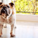 How to Get Rid of Fleas in Bulldogs
