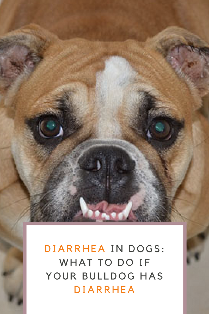 What should you do if your Bulldog has diarrhea? There are different reasons why dogs suffer diarrhea. Diarrhea in dogs can happen due to a number of reasons including consumption of strange items, bacterial or viral infections, poisoning, or serious diseases. #Bulldogs #Bullies #DiarrheainBulldogs