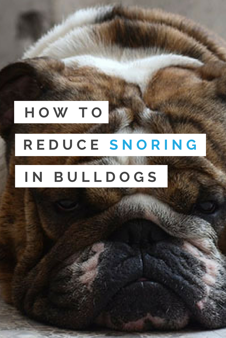 While their faces, personalities, farts, and snoring moments are parts of their charm, it still helps to know how to reduce snoring in Bulldogs. #BulldogsSnoring #Bullies #Bulldogs
