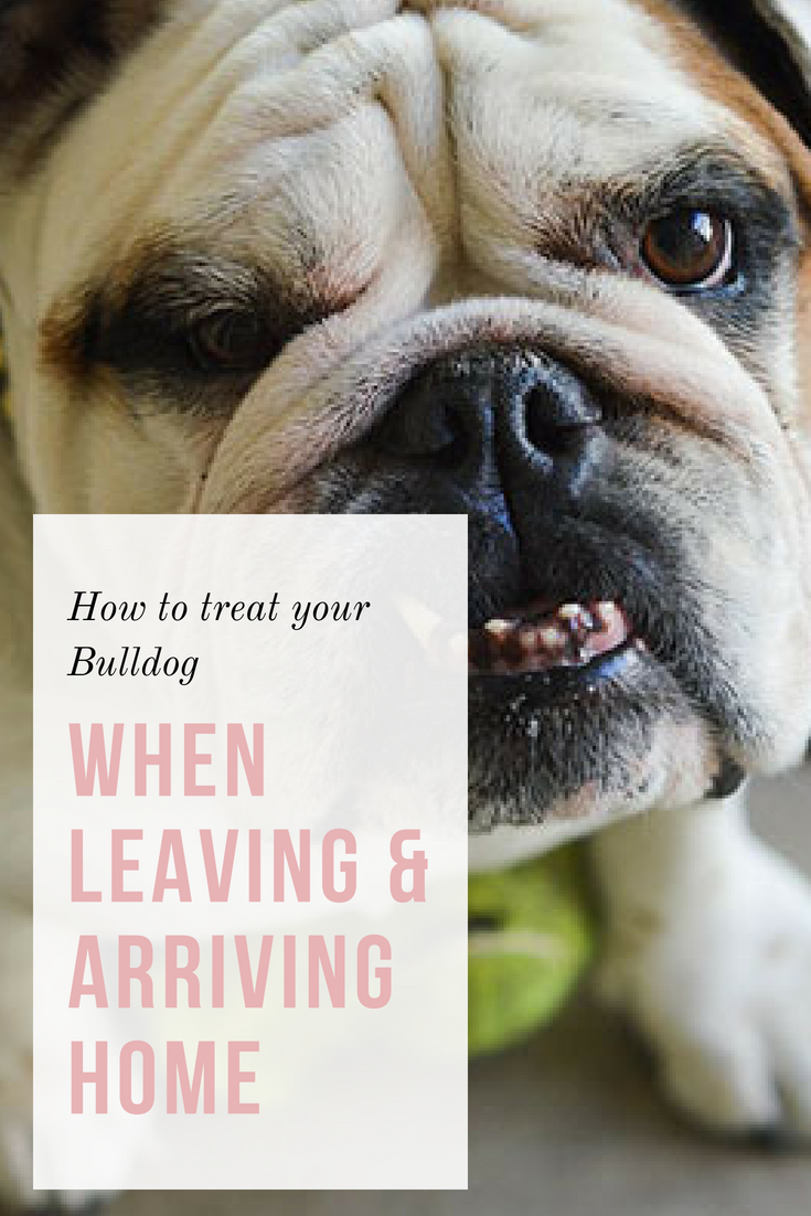 Do you want to know how to treat your Bulldog when leaving? Leaving is not as simple if you have an overly-attached Bulldog. #Bulldogs #Bullies #TreatingYourBulldog