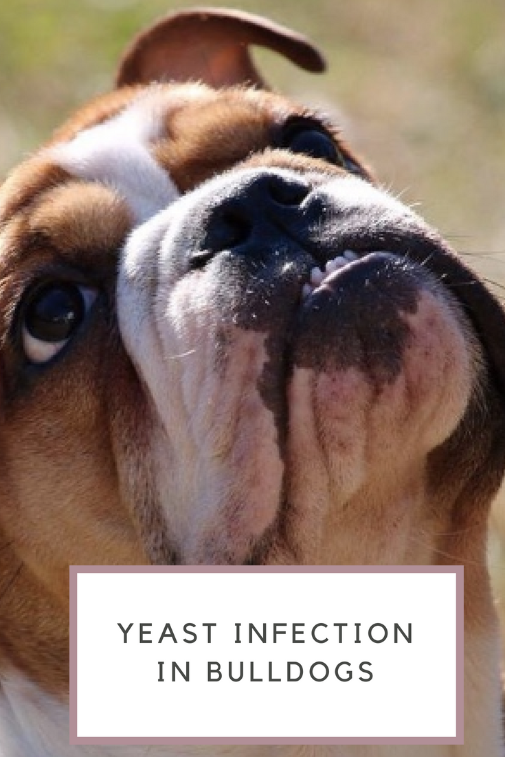 Yeast Infection in Bulldogs is common. Yeast infection mostly happens when the immune system becomes underactive. #Bulldogs #YeastInfection #Bullies
