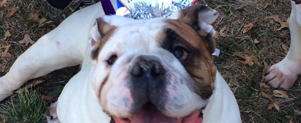 1 Human Year Is Not Equal to 7 Dog Years - What Is Your Bulldog's Dog Age