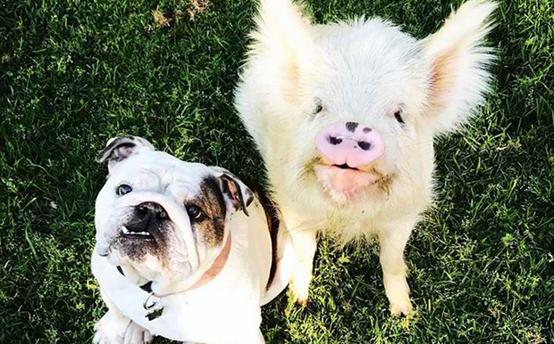 Can Pig Perfume Calm Down Hyperactive Dogs?