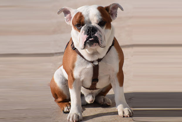 Teaching Your Bulldog the Sit Command