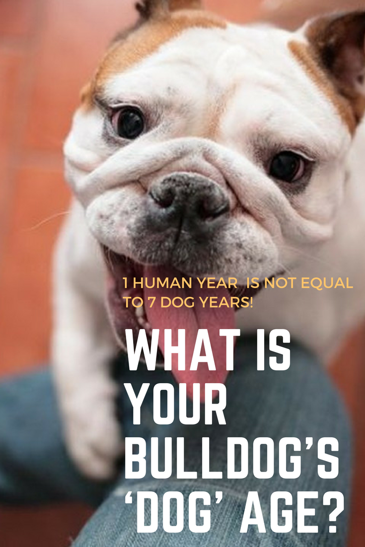 1 Human Year Is Not Equal to 7 Dog Years! What Is Your Bulldog's 'Dog' Age?