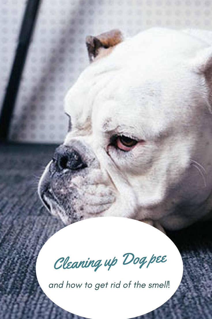 So your Bulldog peed on the carpet again? Cleaning up dog pee and getting rid of its smell is something we hate doing – but we have to in order to make our living situation better. #BulldogCleanUp #Bullies #Bulldog