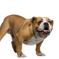 Fly-Biting Syndrome in Bulldogs