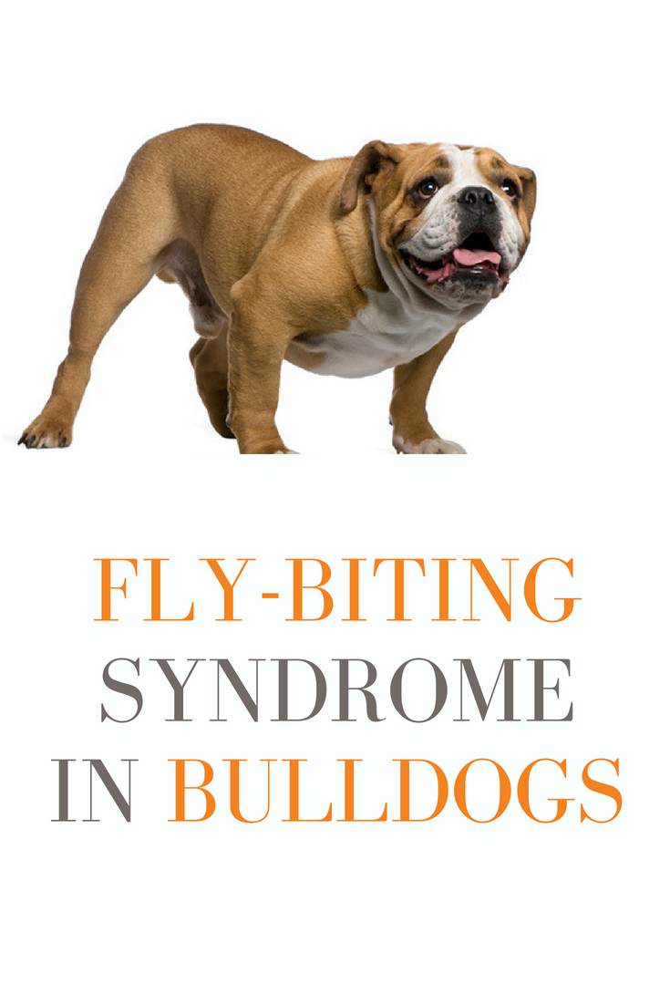 The fly-biting syndrome in Bulldogs is a condition where in a dog appears to be snapping at non-existent flies or insects. #Bulldogs #Bullies #FlyBitingDogs