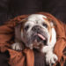Canine Distemper in Bulldogs