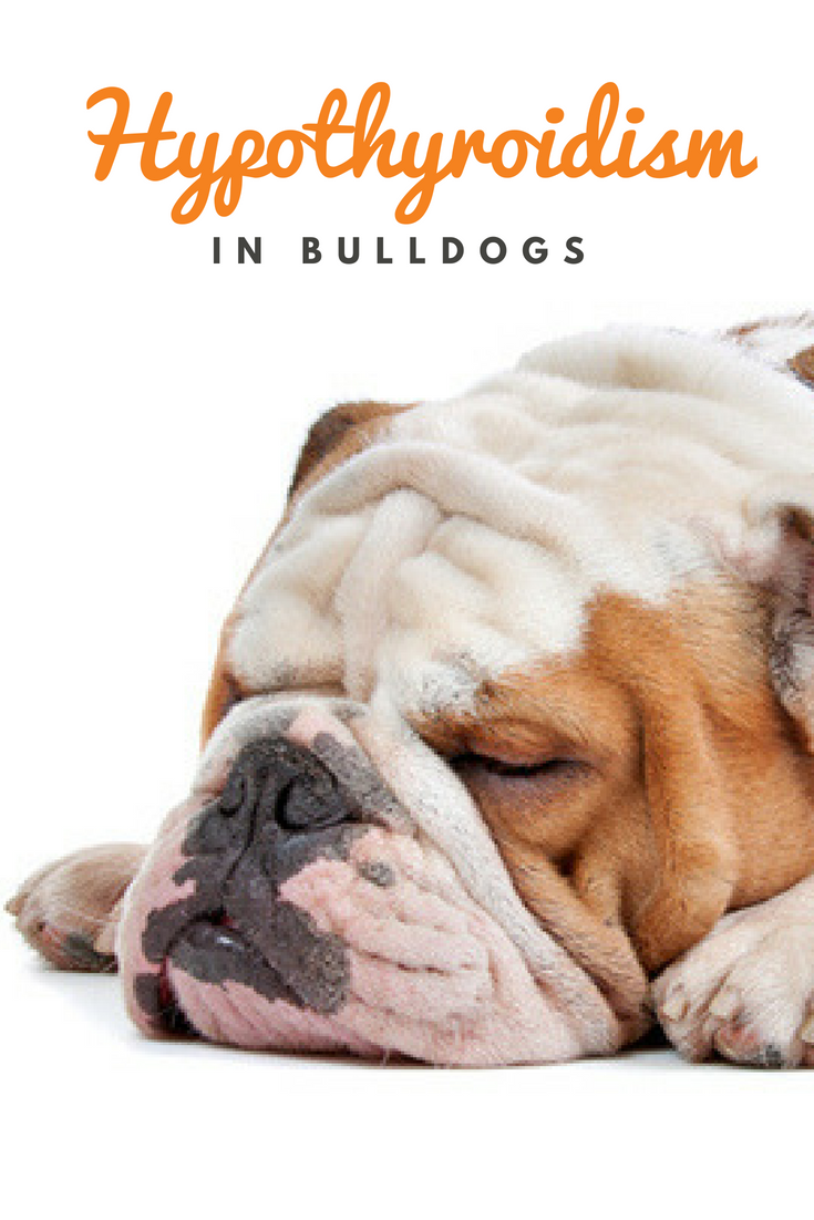Obesity, lack of proper care, and frequent use of steroid medications may cause hypothyroidism in Bulldogs. #HypoparathyroidismInBulldogs #Bulldogs #Hypoparathyroidism