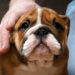 Canine Parvovirus in Bulldogs