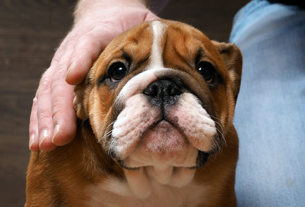 Canine Parvovirus in Bulldogs