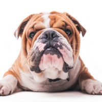 Pyometra in Bulldogs