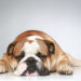8 Signs of Bulldog Hip Dysplasia