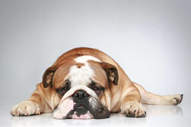 8 Signs of Bulldog Hip Dysplasia