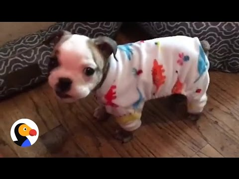 Tiny Bulldog Gets A Second Chance At Life And Shows Us How To Live (Video)