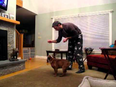 English Bulldog Shows of His Tricks