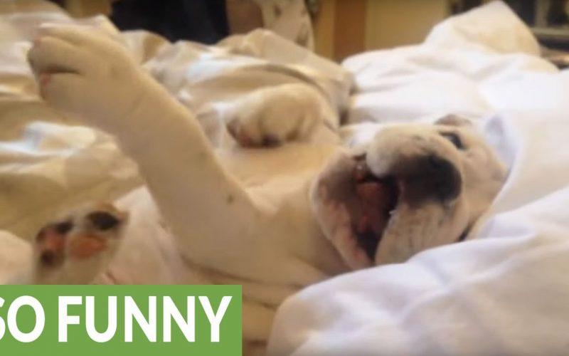 This Bulldog Puppy Refuses To Wake Up