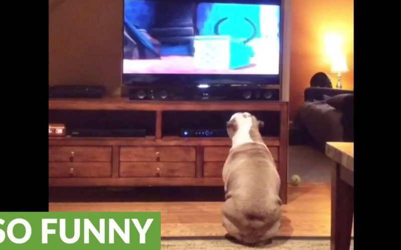 English Bulldog Watches Lady and the Tramp